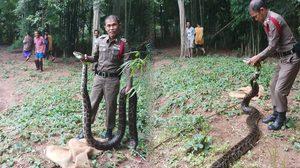 สุดยอดตำรวจไทย!! ชาวบ้านร้องเจองูเหลือม ผู้กองตามไปจับให้ถึงที่