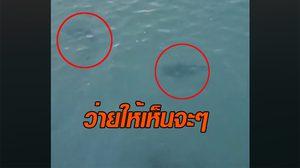 ตัวเป็นๆ ฉลามว่ายในทะเล หลังข่าวนทท.ถูกกัดเจ็บ ที่หาดทรายน้อย