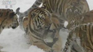 คลิปเด็ด เสืออ้วนขั้วโลกไล่ตะครุบโดรน หวังจับกิน