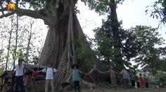 อย่างนี้ต้องดัน!  พบต้นเรืองหรือต้นผึ้งขนาดยักษ์ อายุกว่า 500 ปี ที่พะเยา