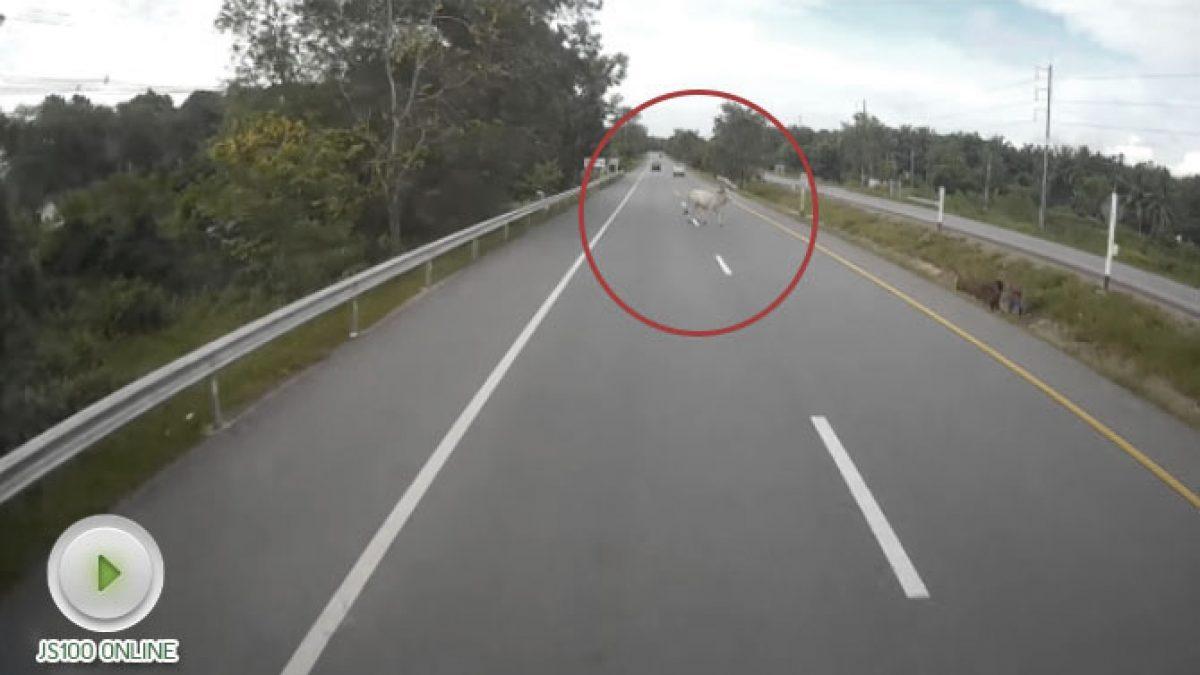 อุทาหรณ์!! วัวถูกกระบะพุ่งชนร่างกระเด็นกลางถนน (17-10-60)