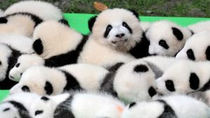 น่ารักมาก ! จีนเผยโฉมลูกแพนด้ายักษ์ 23 ตัวในเฉิงตู
