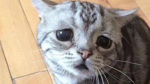 ทาสแมวต้องหลงหนัก เมื่อเห็นเจ้าตัวนี้ Luhu แมวหน้าเศร้า