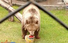 สวนสัตว์ในเปรูเตรียมอาหารแช่แข็งให้สัตว์คลายร้อน