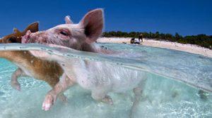 ว่ายน้ำกับ หมูทะเล ที่น้ำทะลใสบน เกาะเมเจอร์ เคย์
