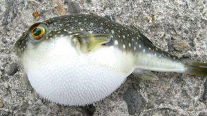 สธ.เตือน! ไม่นำปลาปักเป้ามากิน หลังลูกเรือกินไข่ปลาปักเป้าตาย 2 ราย