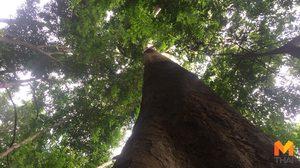 ฮือฮา! พบ 'ต้นทุเรียนยักษ์' อายุนับร้อยปี ให้ผลผลิตกว่าพันลูก