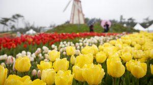 เทศกาล 'Taean Tulip Festival' ทิวลิปบาน ที่เกาหลี ต้อนรับฤดูใบไม้ผลิ