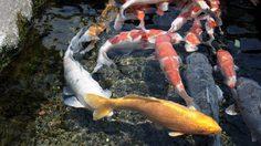 คาร์พ สตรีท ยลปลาในน้ำใส บนถนนเมืองชิมาบาระ