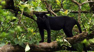 ไม่แน่มีออกข้อสอบ! รู้จัก เสือดำ กับเรื่องราวของเสือดำในประเทศไทย
