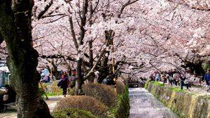 จุดชมซากุระ บนเส้นทางสายนักปราชญ์เลียบคลองโบราณแห่ง เกียวโต
