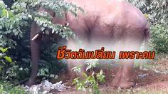 วิถีเปลี่ยน ช้างป่าบุกคุ้ยขยะหากิน ด้าน จนท.แนะทิ้งให้ถูกทาง – อย่าให้อาหาร