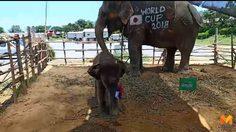 'ลูกช้างพลายงามโชค' เสี่ยงทายผลการแข่งขันนัดเปิดสนามบอลโลก
