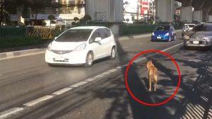 แชร์ว่อนคลิปสุนัขสุดฉลาด โชว์สกิลเทพข้ามถนน ทั้งๆ รถเยอะ จราจรคับคั่ง