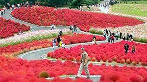 ฮิตาชิ ซีไซด์ สวนดอกไม้ชื่อดัง แห่ง เมืองฮิตาชินากะ