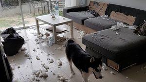 เจ้าของน้ำตาไหล หมาแสนรักพังบ้านเละ !! โอดเลี้ยงหมาหรือโจรหมดเป็นแสน