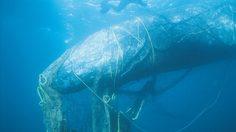 ขยะซากอวนในทะเล ใช้เวลากว่า 600 ปี ในการย่อยสลาย