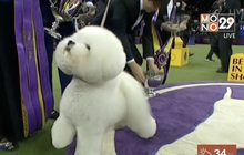 สุนัขบิชองฟริเซ่คว้าแชมป์ประกวดสุนัข