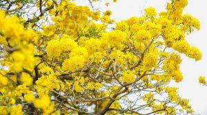 ดอกปรีดียาธร - ดอกราชพฤกษ์ เหลืองอร่าม บานสะพรั่ง -