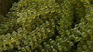 ของแปลกที่แดกได้ ตอน สาหร่ายพวงองุ่น Green caviar