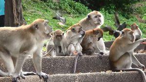 ห่วง! ลิง เขาน้อย-เขาตังกวน อาจมีเชื้อพิษสุนัขบ้า