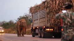 เคยเห็นไหม ? ช้างป่าปิดถนน ปล้นรถบรรทุกอ้อย