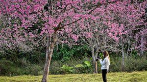 หุบเขาสีชมพู ภูลมโล ดินแดนซากุระเมืองไทย