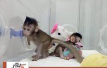 """จีนโคลนนิ่ง """"ลิง"""" ได้เป็นครั้งแรกของโลก"""