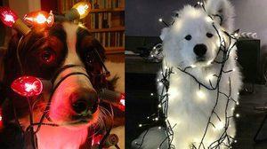 เมื่อสัตว์เลี้ยงแสนรัก ขอมีส่วนร่วมกับงานคริสมาต์ ความน่ารักจึงบังเกิด