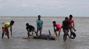 สะเทือนใจ ! พบซากโลมาอิรวดี เกยหาดเกาะสมุย 2 ตัว