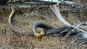 หาดูยาก! งูจงอางยักษ์พลอดรัก กลางป่าเขาพลายดำ