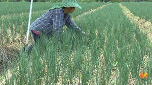 เกษตรกรพะเยา ปลูก 'หอมจีน' จำหน่ายสร้างรายได้งาม