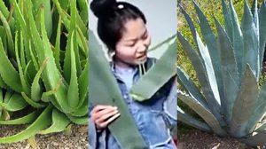 เน็ตไอดอลสาวจีนไลฟ์สด กินพืชมีพิษ เพราะคิดว่ามันเป็นว่านหางจระเข้