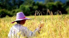 ครม.ไฟเขียว งบ 1.4 พันล้าน ใช้ปรับพื้นที่ปลูกพืชทดแทนข้าว