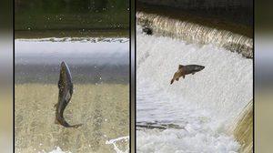 ปลาแซลมอน, แคนาดา, ข่าวสดวันนี้
