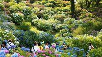 เทศกาลชมดอกไฮเดรนเยีย และดอกไอริส สีสันฤดูฝน ที่ปราสาทโอดะวาระ