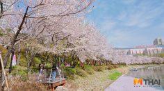 ฤดูสีชมพู! พาชมเทศกาลดอกพ็อตโกต ในโซล