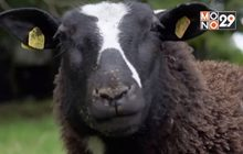 ธุรกิจเลี้ยงสัตว์ในไอร์แลนด์เหนือเผชิญวิกฤต
