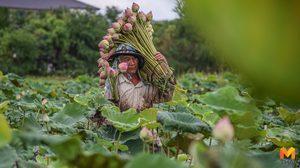 เกษตรกรเมืองนนท์ทำ 'นาบัว' พืชต้นทุนไม่สูงสร้างรายได้งาม