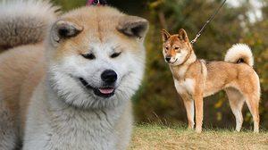 เรื่องหมา ๆ 5 พันธุ์หมาน่าเลี้ยง จากแดนอาทิตย์อุทัย