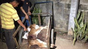 ชาวบ้านผวา!! ลูกวัวถูกควักไส้ตายสยอง  ที่ลำปาง