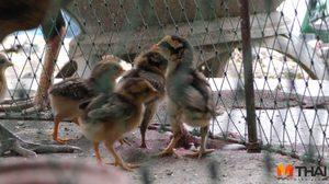 หนุ่มชัยนาทหนีแล้ง เพาะไก่ชนขาย รายได้เดือนละกว่า 2 หมื่น