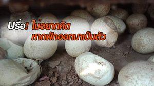 บรื๋อ! ยิ่งกว่าไส้เดือน งูหลามยักษ์ซุกโกดังร้างฟักไข่ 60 ฟอง
