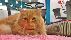 คาเฟ่ของคนรักน้องแมว Crystal's Cat Cafe