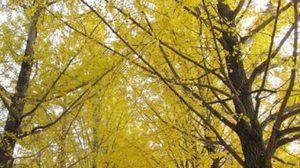 ใบไม้เปลี่ยนสี ที่เกาหลี ช่วงปลายฝนต้นหนาว