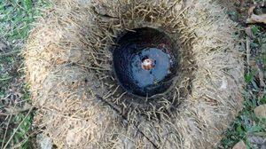 ตะลึง! ชาวโคราชขุดพบ 'หัวบุกยักษ์' ใหญ่กว่าล้อรถกระบะ