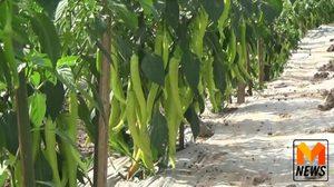 เกษตรกรพลิกชีวิต ! หันปลูกพริกหนุ่มเหนือนางพญาสร้างรายได้หลักแสน