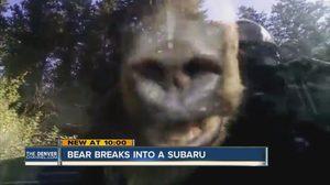 ลูกหมี เข้ามาอยู่ในรถ Subaru แล้วมันเข้ามาได้อย่างไร???