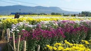 เชิญเที่ยว งานเบญจมาศบาน ในม่านหมอก สีสันความสวยงามของดอกไม้เมืองหนาว