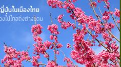 ชมซากุระญี่ปุ่นในเมืองไทย ไม่ต้องไปไกลถึงต่างแดน